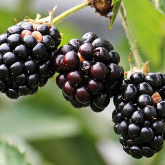 แบล็กเบอร์รี กี่แคล กินอย่างไรให้ได้ประโยชน์ต่อสุขภาพมากที่สุด